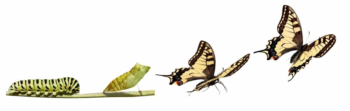 bruco-farfalla